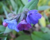 Bare-Root Bulk Pulmonaria (Lungwort) plants