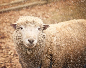 Snow Sheep Nature Photography - Winter Fine Art Photo 8x10 Art Winter Photo - Farm Animal Sheep in Snow