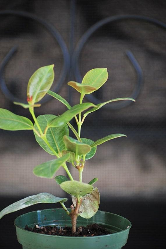 live red brazilian jasmine plant indoors out mandevilla. Black Bedroom Furniture Sets. Home Design Ideas