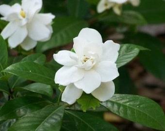 1/2oz Natural Gardenia Perfume Oil, Gardenia Fragrance Oil, Gardenia Essential Oil, Gardenia Scent, Lotions and Potions