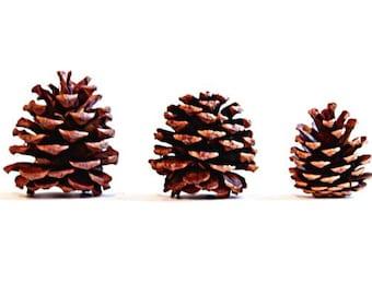 Pine Cones Photo Fine Art Print Nature Minimalist Rustic Home Decor Winter Woods Nature Art Pinecone Natural
