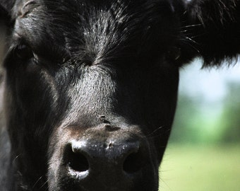 Big Black Cow with  Fly on His Nose