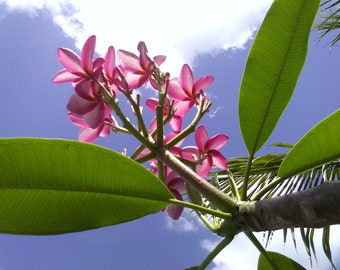 """CYBER SALE! Plumeria """"Flamingo Frangipani"""" 6-INCH Tree Cutting """"Soft Pink petals with yellow center"""""""