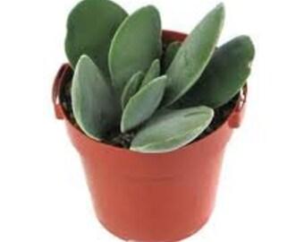 Succulent Plant. Crassula Dubia.