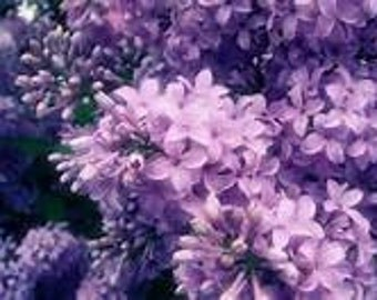 LILAC Oil /Aromatic Oils/ use as perfume or in an oil warmer to scent the house. Bring in the SPRING!!!