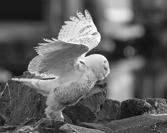 Snowy Owl Photo, Nature Photo, Owl Image,