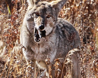 coyote mouse Jackson Hole Wyoming field wildlife photography fine art 8x10