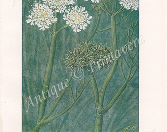 1919 Hemlock Water Dropwort - Oenanthe fistulosa and Cowbane or Northern Water Hemlock - Cicuta virosa Antique Coloured Plate