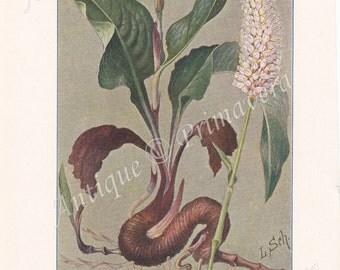 1913 Common Bistort - Polygonum or Persicaria bistorta and Greater meadow-rue - Thalictrum aquilegiifolium Antique Coloured Plate