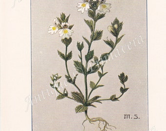 1913 Eyebright, Eyewort - Euphrasia rostkoviana and Yellow Rattle - Rhinanthus minor and Rhinanthus major Antique Coloured Plate
