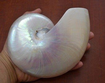 Sliced White Chambered NAUTILUS Polished Sea SHELL 5 1/2""