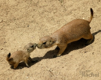 Prairie Dog Love: Photo of a parent and baby prairie dog touching noses. Affection, parent, child, mother, father, son, daughter, cute