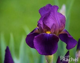 Purple Bearded Iris Flower Photo Print & Canvas Gallery Wrap. This incredible deep purple/black iris is striking against a green background.