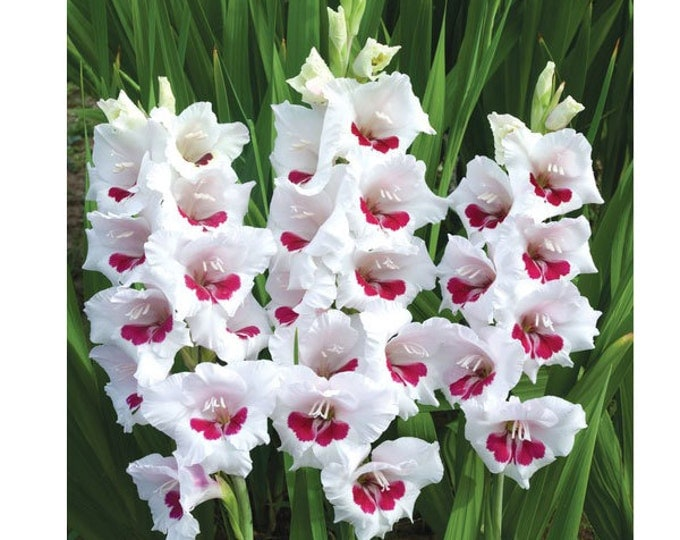 Gladiolus Flower Bulbs Fiorentina 10 Gladioli Corms White and Red Cut Flower - Spring Shipping