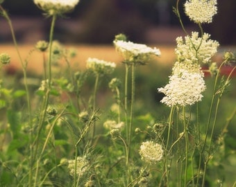 Beauty of Weeds, queens lace, delicate, light colors