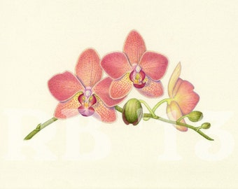 Orchid Spray (Pink Phalenopsis), 8x6 in. Limited Edition Giclee Print (6/50)