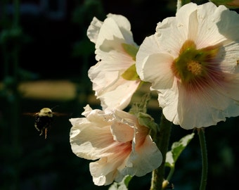 Photo print or  note card, hollyhock with bee