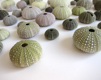 Sea Urchin Shells for Home Decor or Craftworks. 10 urchins.