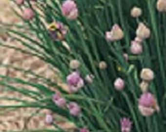 Herb Plant, Chives Organic