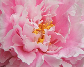Nature photography, Peony, Pink, Flower, Wall Art, Home Decor.