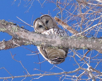 8 X 10 Photograph//Barred Owl New Hampshire