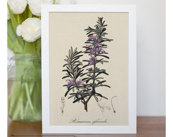 "Picture illustration of Rosemary - framed fine art print, botanical art, 8""x10"" ; 11""x14"", FREE SHIPPING 83"