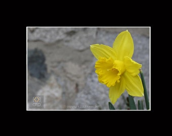 Yellow Daffodil on Stone Wall, Flower Photography Print, 8x10 matted to 11x14, or 5x7 matted to 8x10, Home Décor, Wall Art