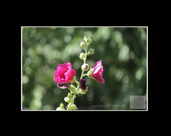 Pink Hollyhock, Flower Photography Print, 8x10 matted to 11x14, or 5x7 matted to 8x10, Home Décor, Wall Art