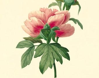 Pivoine art vintage flower art print Cottage wall art botanica print Victorian print French decor antique wall art Flower Garden print