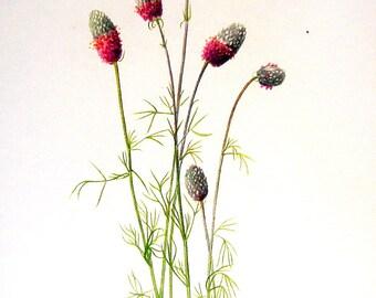 Flower Print - Golden Pea, Prairie Clover - 2 Sided - 1950's Vintage Botanical Illustration Book Page