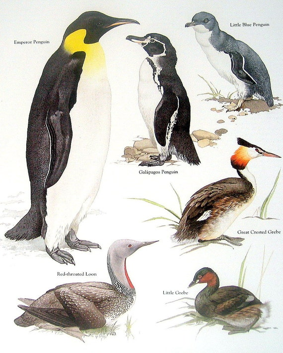Items similar to Birds - Emperor Penguin, Galapagos ...