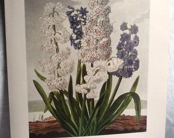 Hyacinth Flower Art Print- Bluish Purple White Gray Flower Plant Green- Floral Botanical Illustration- Thornton Temple of Flora 18th Century