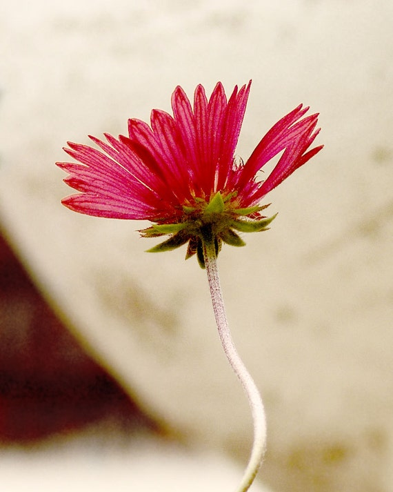 Minimalist Red Flower Photograph Only You Fine Art Botanical Photo Print