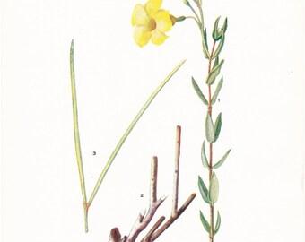 1919 Botany Print - Rhabdadenia Corallicola - Vintage Antique Flower Art Illustration Book Plate for Framing