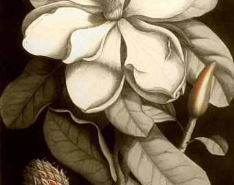 Instant Download  The Magnolia Bloom  Sepia You Print Digital Image