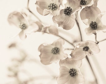 Flower Still Life Photography -  Dogwood Blossoms, Sepia Floral Photograph, Black and White Wall Decor, Botanical Photograph