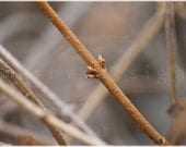 """Forsythia - New Life, Fine Art Photo Print, 18"""" x 24"""", other sizes available, Spring buds on brown branch against natural background"""