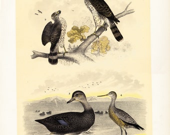 1881 antique BIRDS of NORTH AMERICA lithograph, Eagles, duck and shorebird, 131 years old gorgeous largue print.