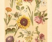 1901 Antique Chromolithograph of Ornamental Plants, Hyacinth, Crocus, Auricula, Snowdrop, Tulip, Narcissus, Sunflower, Rose, Aster, Magnolia