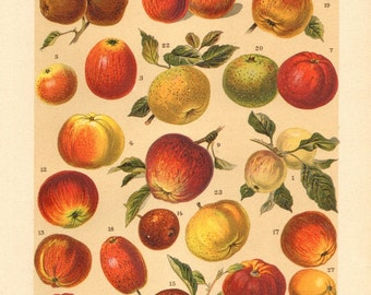 1901 Apple Varieties, White Astrachan, Yellow Bellflower, Calville's White Winter, King of the Pippins, Golden Russet Antique Lithograph