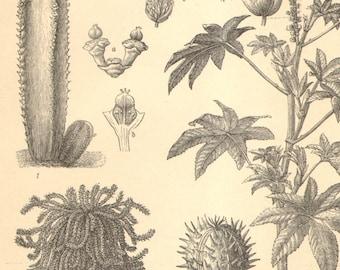 1905 Euphorbiaceae, Spurges, Official Spurge, Medusa's Head, Castor Oil Plant, Cassava Original Antique Engraving to Frame