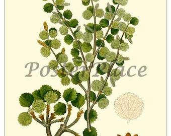 ART CARD - Dwarf Birch botanical print reproduction 372