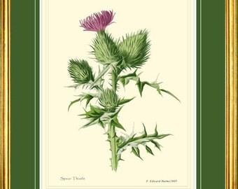 THISTLE - Antique Botanical print reproduction 2103