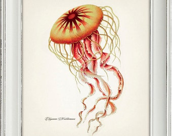 Jellyfish (Chrysaora Mediterranea) by Haeckel - OC-08 - Fine art print of a vintage natural history antique illustration,