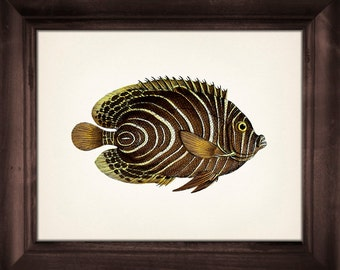 Unique 1801 Butterflyfish drawing - 8x10 Fine art print of a vintage natural history antique illustration
