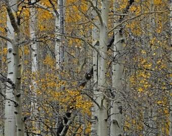 Aspen Trees, Fine Art Photography
