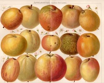 1893 Historical Apple Varieties Antique Print, Apfelsorten, German Historical Apple varieties, System Diel Lucas, Pomology, Apple Cultivars