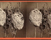 Wonderful and Unusual 1860s Stereoview Photo of a Hornet's Nest