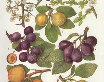 Vintage Botanical Print Antique PLUM VARIETIES 67, plant print botanical print, bookplate art print, apple fruit plants plant wall print