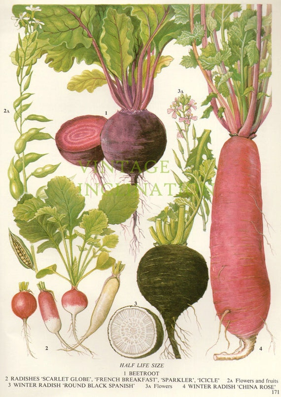 Vintage Botanical Print Antique BEETROOT plant print
